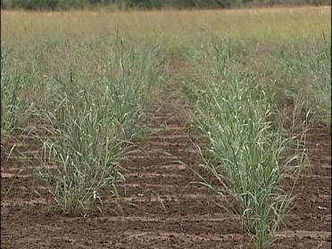 More Research Planned For Switchgrass