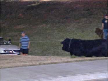 Bull Roundup