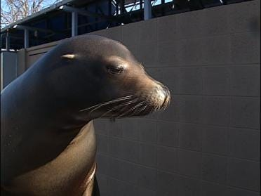 Sea Lion Event Set At The Zoo