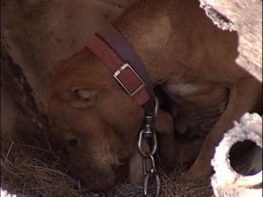 Abandoned Pit Bulls Find Home