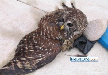 Injured Owl Rescued In Midtown