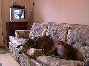Greyhounds Looking For Retirement Homes