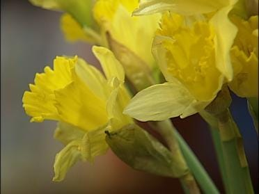 Daffodils Offered As Symbol Of Hope