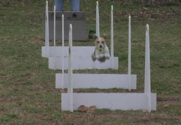 Dogs Go Wild For Flyball