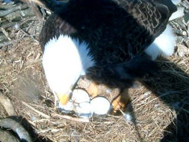 Bald Eagle Cam Now Online