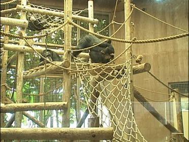 Remembering Sarah The Chimp