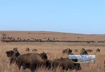 Bison Roam Freely In Prairie Preserve