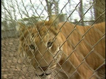 Sanctuary Will Spare Liger's Life