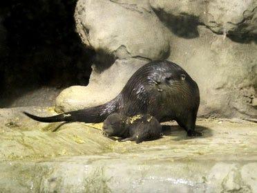 Baby Otter Born At Aquarium