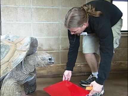 100-year-old Aldabra Tortoise Paints At Tulsa Zoo