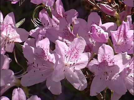Muskogee Festival Blooming With Azaleas