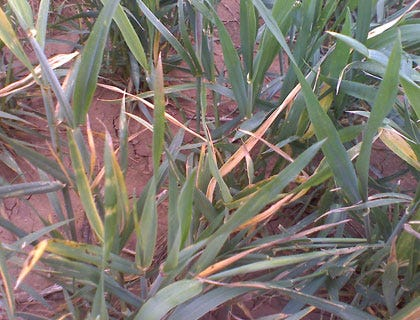 Much of Oklahoma's Wheat Crop Damaged