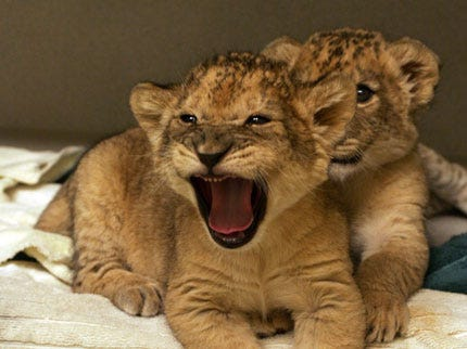 Tulsa Zoo Welcomes Two Baby Lion Cubs