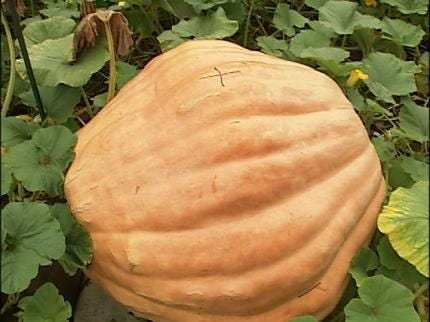 Haskell Man Growing 600-Pound Pumpkin For Competition