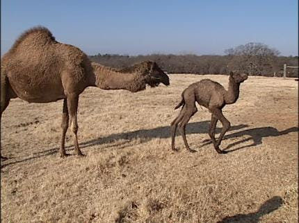 Edmond Ranch Welcomes Baby Camel