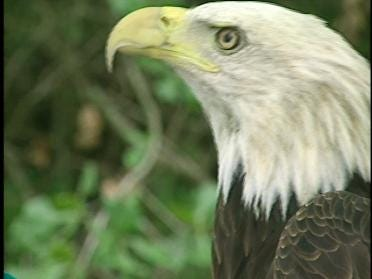 Reward Established To Protect Eagles