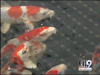 Rash Of Koi Fish Thefts In Oklahoma City Area