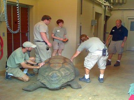609-Pound Tortoise Moves To The Tulsa Zoo