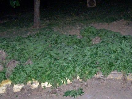 More Marijuana Plants Found Near Antlers