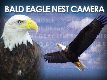 Eaglet Hatched On Camera Leaves Its Nest