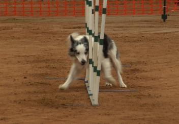 Tulsa Dog Training Club Holds Agility Trials