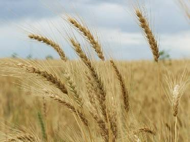 Oklahoma Wheat Crop Better Than Expected