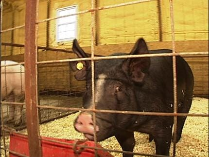 A Boy And His Pig Donate To Twin Hills School