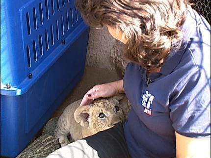 Tulsans Can Now See Zoo's Lion Cubs