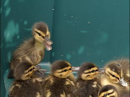 Ducks Rescued From Tulsa Storm Drain