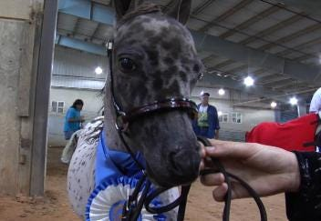 Small Horses put on a Big Show in Tulsa