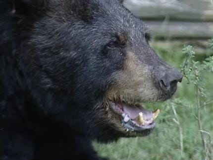 Oklahoma's Black Bear Hunting Season Begins Thursday