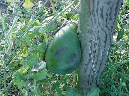Fenced-In Watermelon In Tulsa