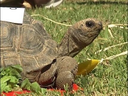Tortoises Race In Tulsa Zoo Run Pre-Event
