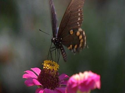 Meet Brookside Neighborhood's 'Butterfly Lady'