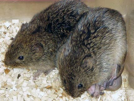 OSU Awarded Research Grant To Study The Monogamy Of Prairie Voles