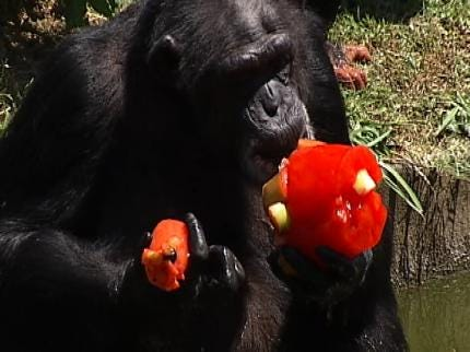 Frozen Treats Giving Animals At The Tulsa Zoo Relief From The Heat
