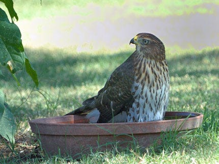 Oklahoma's Hot Weather Forces Hawk To Find Relief