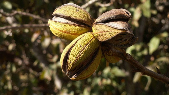 Oklahoma Pecan Harvest Could Be 25 Million Pounds