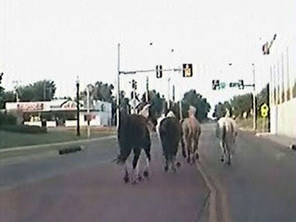 Six Horses Take A Morning Gallop Through Tulsa