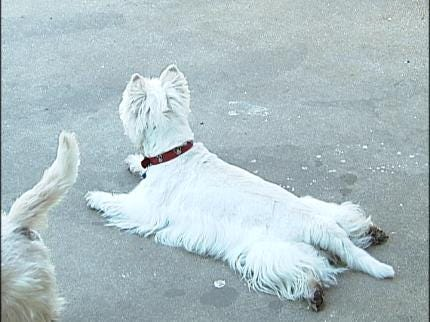 White Highland Terriers Find New Home With Oklahoma Westie Rescue