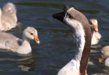 Goose Family Swims Along With Two Dads