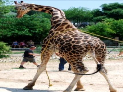 New Twist In Mystery Surrounding Death Of Giraffe At Tulsa Zoo