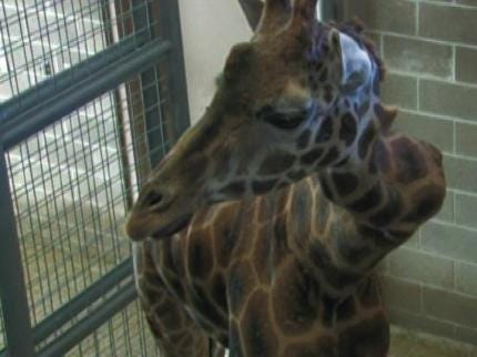 Freedom Of Information Act Request Concerning Tulsa Zoo Giraffe Denied