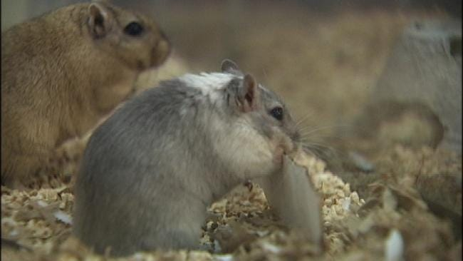 Gerbil Lovers Descend On Tulsa For Show