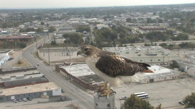 Red Tailed Hawk Visits News On 6's Downtown SKYCAM