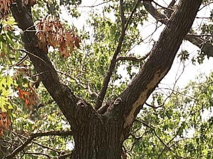 What's Killing Tulsa Trees?