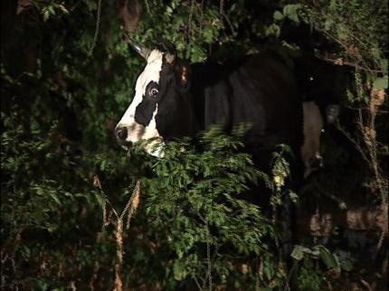Cows On Tulsa County Road Early Monday Lead To 2 Crashes