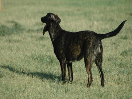 Oklahoma Service Dog Escapes From Missouri Kennel