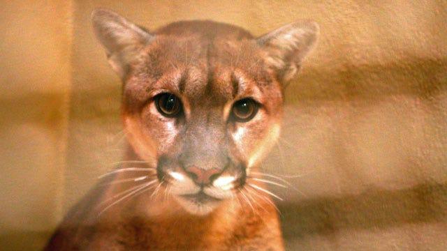Captured Mountain Lion Under Observation At Tulsa Zoo