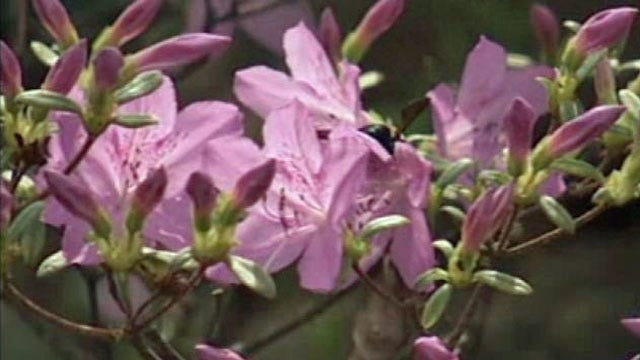 Spring In Full Bloom At Muskogee's Azalea Festival